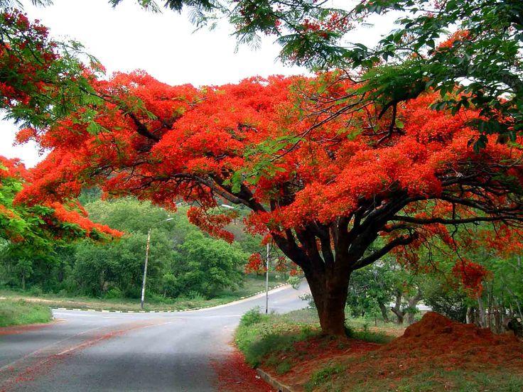 Saint Kitts and Nevis / San Cristóbal y Nieves:  royal poinciana, flamboyant / flamboyán, framboyán (Delonix regia)  http://en.wikipedia.org/wiki/Royal_Poinciana  http://es.wikipedia.org/wiki/Delonix_regia
