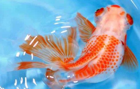 179 best images about goldfish koi on pinterest for Milky koi fish