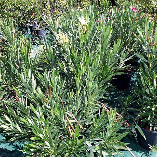 #Piante #Nerium #Oleander #Oleandro - Spedizione Gratuita da € 50 via @EuroPlantsVivai