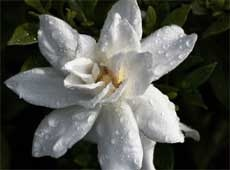 Gardenia care tips