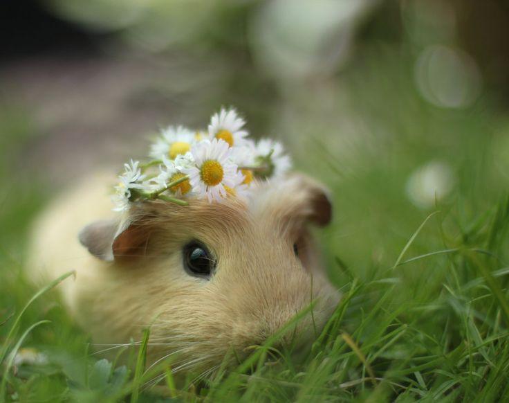 Guinea Pig: Sleep Beautiful, Cute Animal, Sweet, Flower Crowns, Daisies Chains, Flower Power, Flower Children, Flower Girls, Guinea Pigs