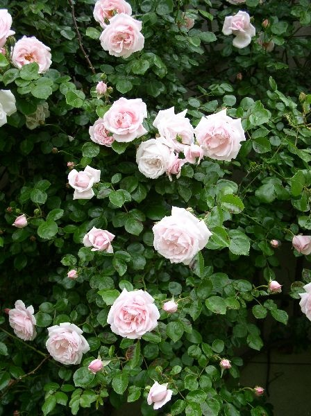 New Dawn A Climbing Rose Give Strong Support Bush Can Weigh Up To 150 Pounds Has Forever Been One Of The Most Por Roses