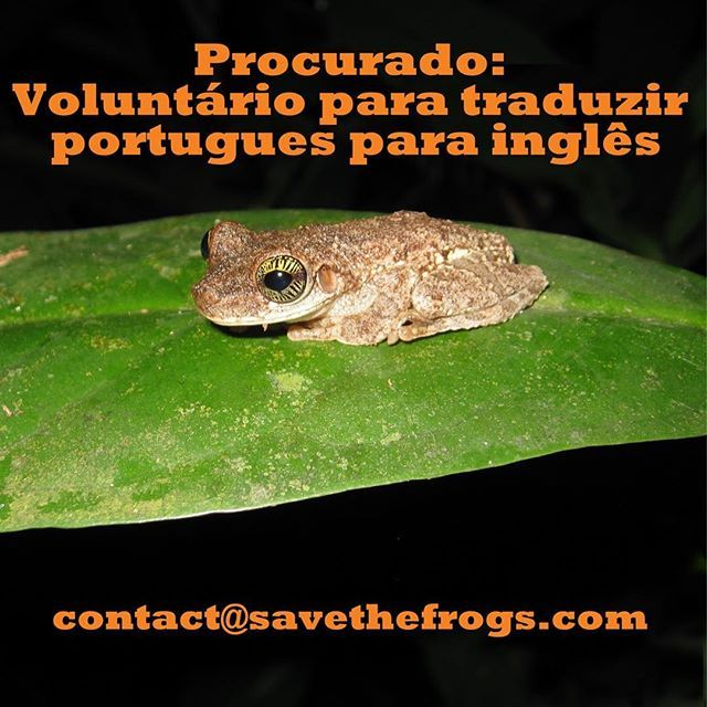 Wanted: a frog loving volunteer to translate Portuguese to English an hour or two per week. Must have excellent Portuguese and English. Please email us and describe your language capabilities - in both English and Portuguese. Obrigado! . . . #volunteer #language #portuguese #ingles #frogs #amphibians #volunteers #translate #translators #tradução #thanks #anfibios #frog #ong #nonprofit