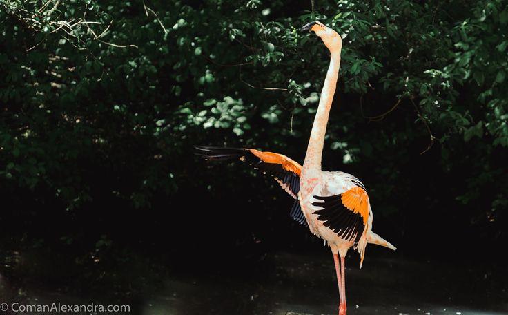 Flamingo - http://www.comanalexandra.com/new  Flamingo spreading its wings