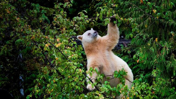 White Spirit Bear in rainforest ...