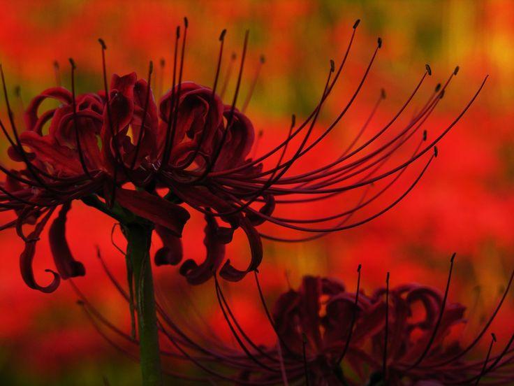 паучья лилия - Поиск в Google