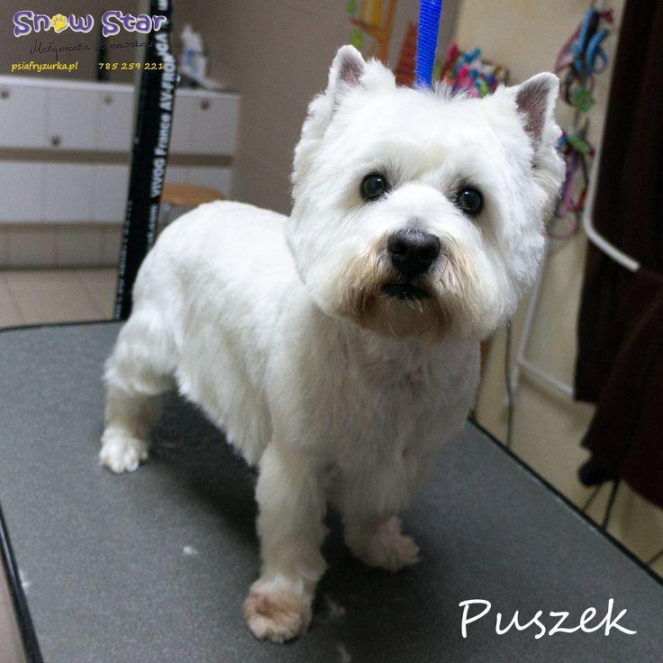 Puszek - Psi Fryzjer Snow Star on Psi Fryzjer Toruń - Salon Psiej Urody Snow Star w Toruniu  http://psiafryzurka.pl/social-gallery/dsc01522-1