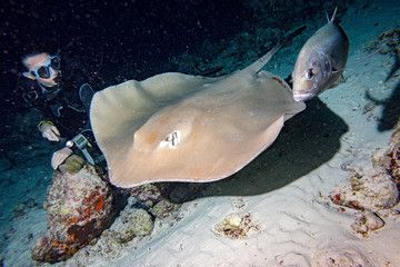 giant blackparsnip stingray fish