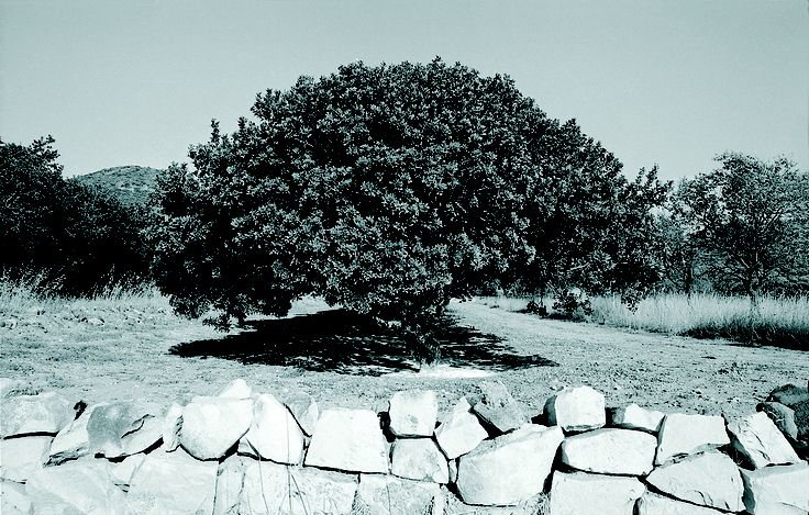 One of the oldest mastiha trees in Chios Island