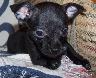 All black chihuahuaAwwwwww Animal, Chihuahua Puppies, Girls Chihuahuas, Baby Girls, Awwww Zoie, White Socks, Black Chihuahuas, Jackk Hhaa, Chihuahuas Puppies
