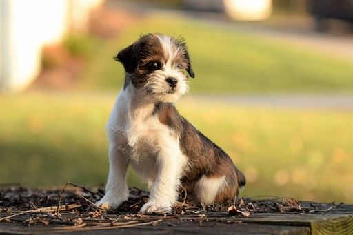 maltese jack russell terrier mix best 25 shih tzu maltese mix ideas on pinterest maltese 7267