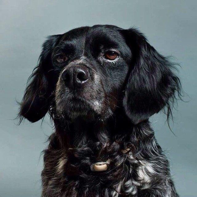 BLACK #epagneul #dogue #dogs #dogfolio #dogportrait #staffordshire #petshelter #dogofinstagram #hasselblad #profoto #dog #dogs #dogmilk #dogfolio #dogstyle #dogsofinstagram #dogstagram #dogoftheday #fourandsons #dogofinstagram #hound #houndfan #houndworthy #delphinecrepin #houndsbazaar #dogmuse #dogsandculturecollide #sheepdog #doglife #petshelteradoption #spa #sppa #amiens #dogportrait