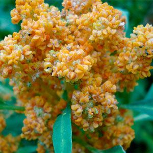 Grow Quinoa: Organic Gardening Quinoa!?!  Cool, dry conditions.  Says that the greens are edible too!  matures in 90-120 days