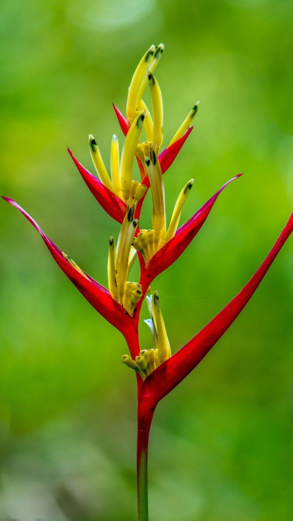 Wallpaper For 5 Inch Screen Android Phones With Heliconia Flower
