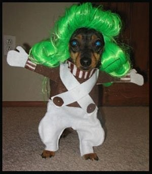 Chihuahua  (or Min-Pin) Oompa Loompa - Lost for words on this one.