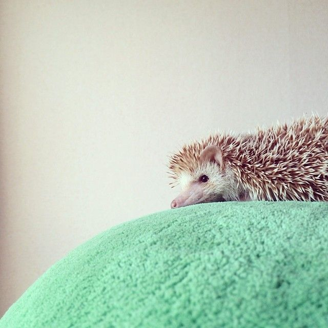 Best Hedgie Love Images On Pinterest Instagram Animals And - Darcy cutest hedgehog ever