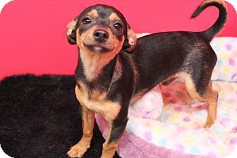 Phoenix, AZ - Chihuahua/Miniature Pinscher Mix. Meet BATMAN a Puppy for Adoption.Meet Batman! This little guy is the sweetest thing ever! He is a chihuahua /min pin mix and only four months old. http://www.adoptapet.com/pet/16279196-phoenix-arizona-chihuahua-mix