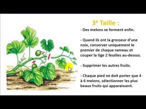 Culture du melon : semis, plantation, taille, entretien et récolte - YouTube