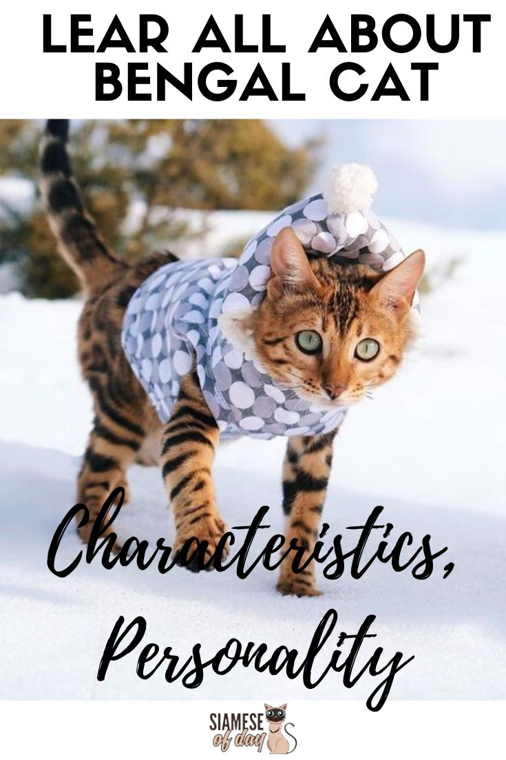 Bengal Cat Characteristics, Personality, care & Health