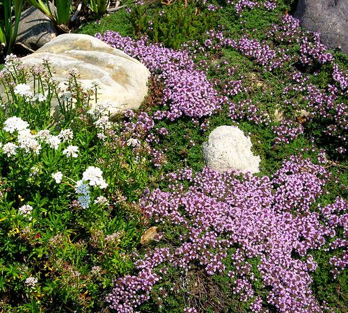 ***15 Reasons You Should Plant Herbs This Year. Creeping thyme makes a wonderful grouncover.