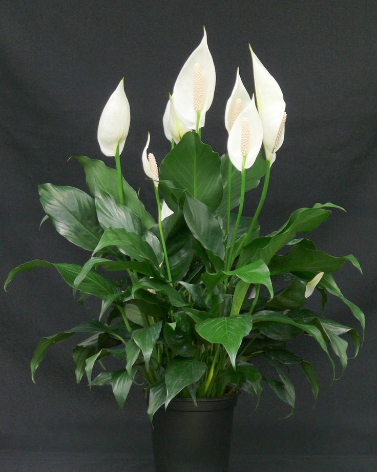 home temperatures 62 hardy and popular indoor plant sporadic flowers with white spathe