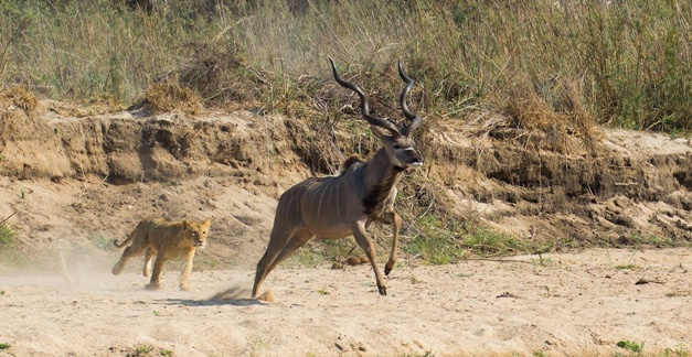 1- The large kudu bull was ambushed after being chased down stream - Gary Hill