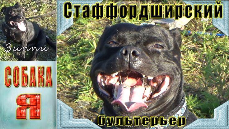Стаффордширский Бультерьер ЗИППИ. Собаки. Выгул Собак. Staffordshire Bull Terrier. Очень милый и забавный и игривый  пес, произвел на меня большое впечатление. Психологически устойчивая, бесстрашная и дружелюбная собака. Обладает колоссальной силой для столь небольшого животного. В содержании стаффордширский бультерьер неприхотлив, не нуждается в сложном уходе за шерстью, прекрасно себя чувствует даже на небольшой территории. Имеет крепкое здоровье.