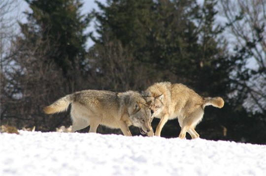 Visite du parc à loups du Gévaudan : des luttes pour devenir le mâle dominant
