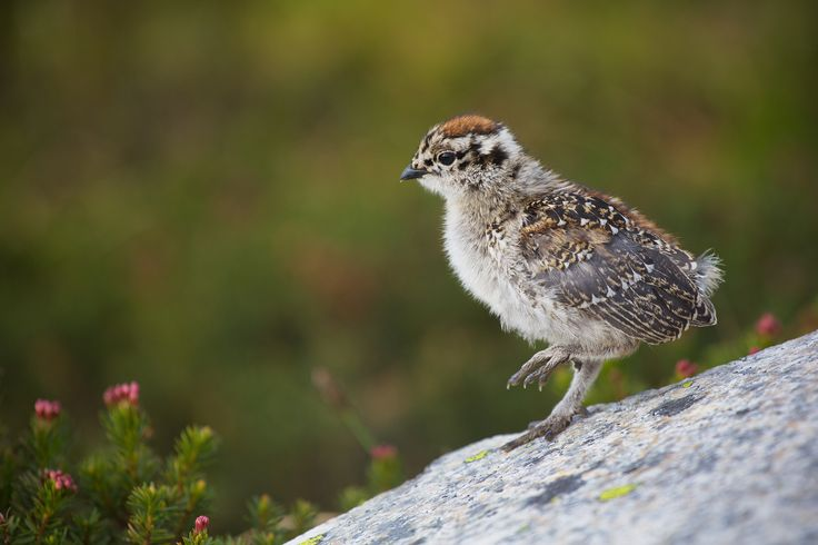 High in British Columbia, Canada's Cascade Mountains, a White-tailed Ptarmigan chick (Lagopus leucura) explores its new alpine home.