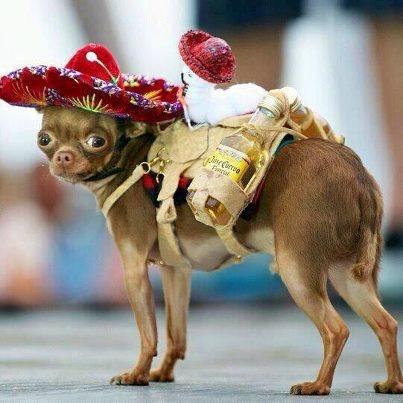 hola, mariachi mexican chihuahua costume chihuahuas