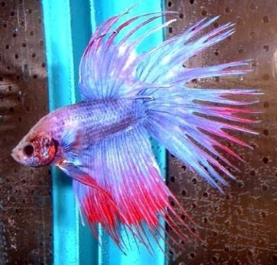 13 best images about fish collection on pinterest for Betta fish care water