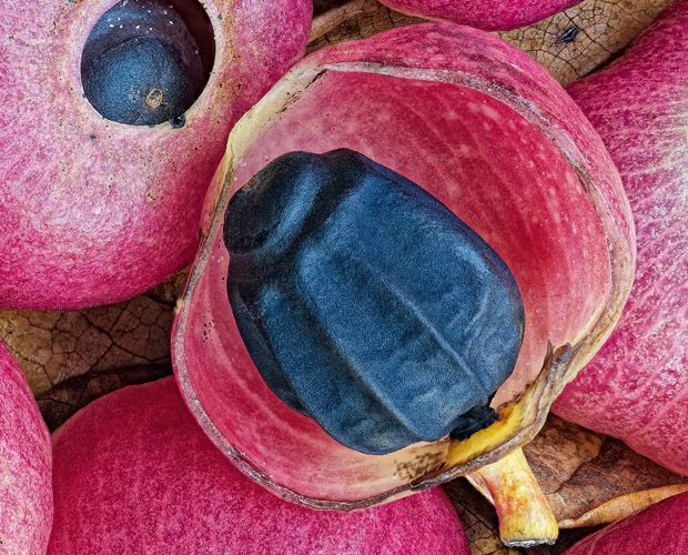 The pink flesh and blue-black seed of lantern tree (Hernandia nymphaeifolia) fruits. Photo Credit: From Rainforest Country by Kaisa and Stan...
