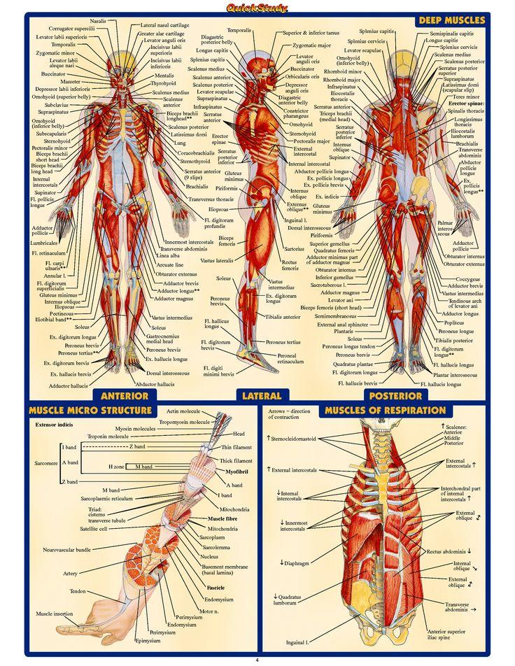 Human Anatomy D