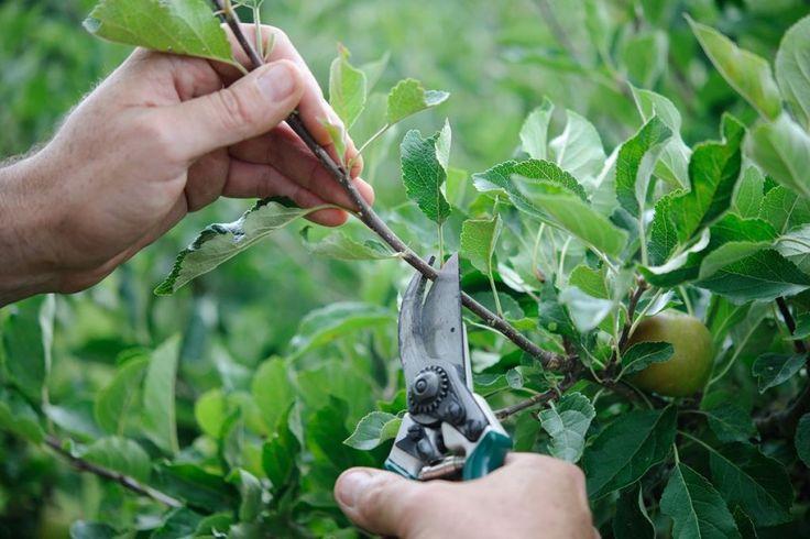 Letný rez ovocných stromov jednoducho v troch krokoch