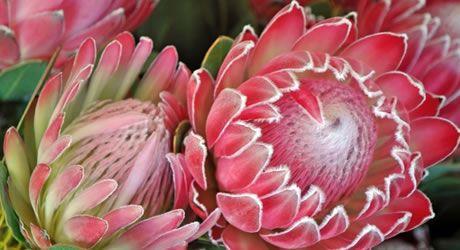 protea-flowers