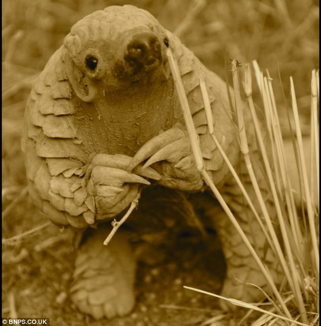 Ground pangolins are known as Manis temminckii in Latin but also go by the name scaly anteater and are one of the most endangered mammals in...