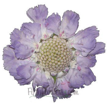 Lavender Blue Scabiosa Flower-Scabiosa flowers are more commonly known as Pincushion ...
