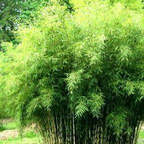 Bambou Fargesia Angustissima : le plus grand des Bambous non traçant Récemment introduit dans nos jardins, le bambou Fargesia angustissima possède un très beau et très gracieux feuillage fin. Avec son port très dense, le Bambou Fargesia 'Angustissima' fait un excellent Bambou brise-vue de jardin.Cette variété de bambou dépasse les 5m de haut : c'est le plus haut des Bambous Fargesia non envahissants. Sa souche peut cependant atteindre un peu plus de 2m de large.Les je...