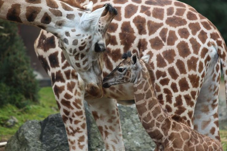 Visitors got a surprise at Belfast Zoo, on Monday, when they witnessed the birth of a Rothschild's Giraffe calf!