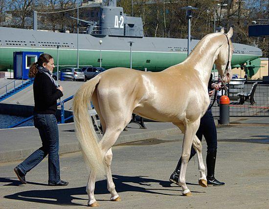 Un cal imposibil de frumos! Juri ca e din aur!
