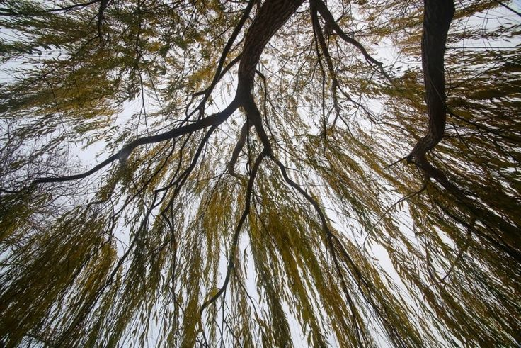 Weeping Willow Photo - Visual Hunt
