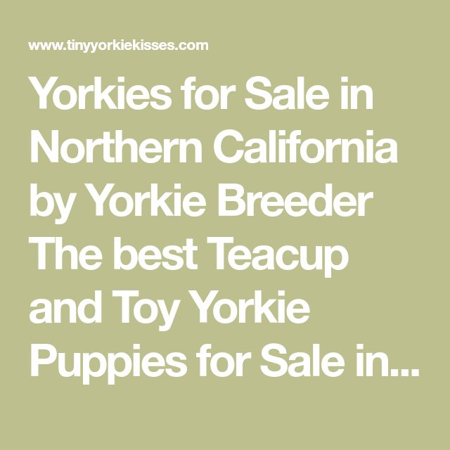 yorkie puppies for sale sacramento ca yorkies for sale in northern california by yorkie breeder 1530