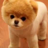 #dogalize Dog Breeds: Pomeranian temperament and personality #dogs #cats #pets
