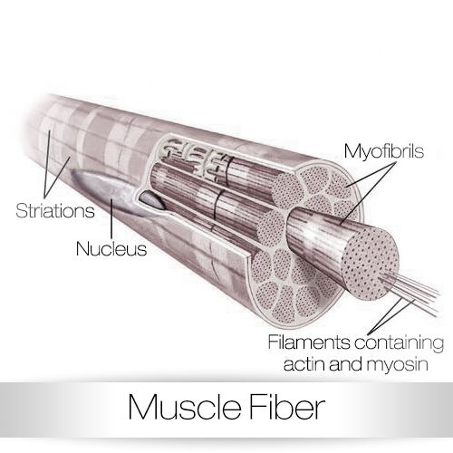 Fitness Biology: 17 Best Images About Muscle Science On Pinterest
