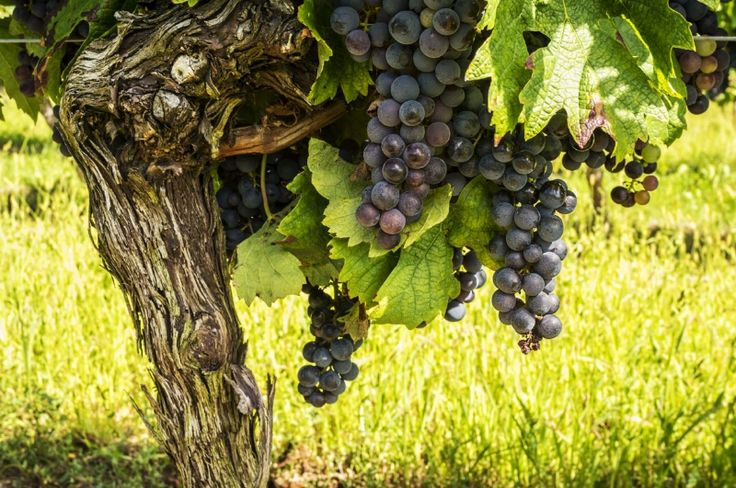 Learn about the Grenache Grape