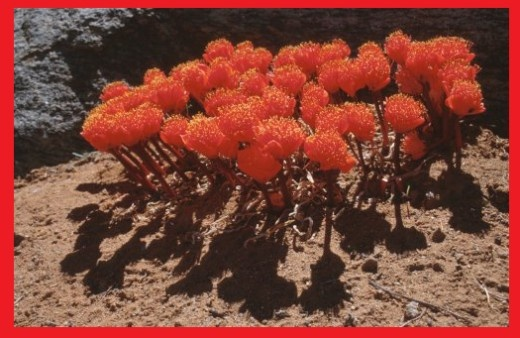 Haemanthus crispus near Okiep, North West Cape
