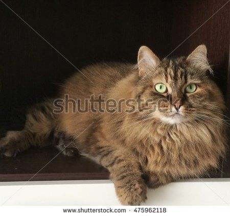 Brown longhair siberian cat, lying in the house - New on @shutterstock #image #stock #pet #puppy #kitten #chat #gatos #gorgeouscats #cat #adorablecats #猫 #siberian #animals #feline