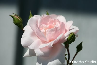New dawn,  Sarin puutarhat: Hehkuvat köynnösruusut
