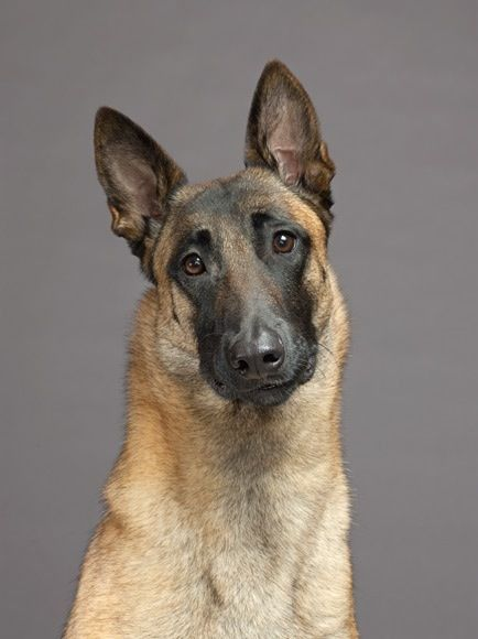 Belgian Malinois-looks just like my Little Mattie Girl!