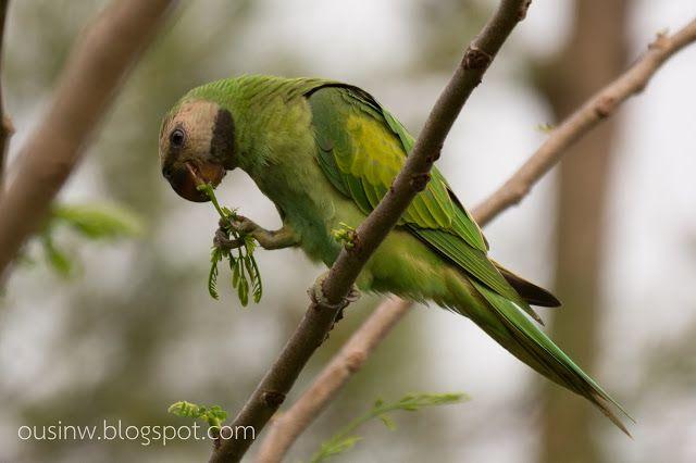 Bangkok Birds นกกร งเทพ นกแขกเต า Red Breasted Parakeet นก